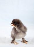 De kip van de baby royalty-vrije stock afbeeldingen