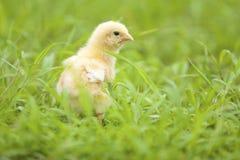 De kip van de baby Stock Afbeeldingen