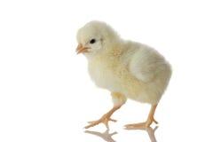 De kip van de baby Stock Afbeelding