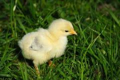 De kip van de baby Royalty-vrije Stock Foto's