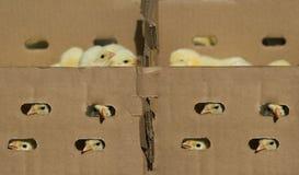 De kip van de baby in de doos Royalty-vrije Stock Afbeelding