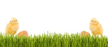 De kip van de baby en de banner van de graslente Stock Afbeeldingen