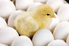 De kip van de baby en witte eieren Royalty-vrije Stock Foto's
