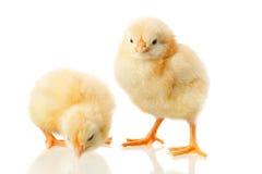 De kip van de baby op wit royalty-vrije stock afbeelding