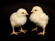 De kip van de baby op zwarte achtergrond Stock Afbeeldingen