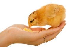 De kip van de baby in vrouwenhand het eten stock fotografie