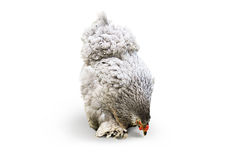 De kip van de kippenvogel op wit Royalty-vrije Stock Afbeeldingen