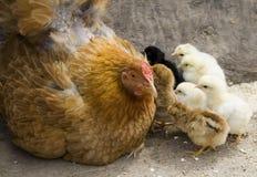 De kip van de moeder en haar kuikens Royalty-vrije Stock Foto