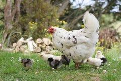 De kip van de moeder met haar kippen stock afbeeldingen