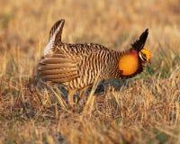 De kip van de prairie Royalty-vrije Stock Afbeeldingen