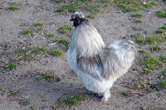 De kip van het zijdehoen stock foto