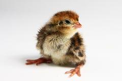 De kip van kwartels Royalty-vrije Stock Foto