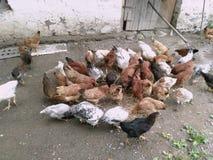 De kip, kip, veerboot, eet van kakkerlakken Kippen die tarwe in een werf eten Kippen en haan in de binnenplaats Kippen en kip royalty-vrije stock fotografie