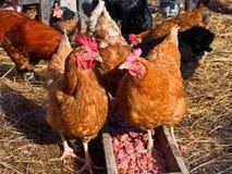 De kip wordt gevoed in de werf Stock Foto's