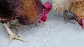De kippen eten korrel stock videobeelden