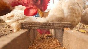De kippen eten korrel Close-up stock video