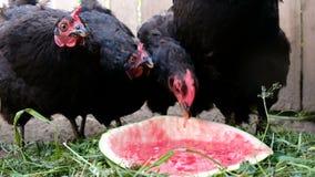 De kippen pikt watermeloen op het landbouwbedrijf, in openlucht eten de zwarte vogels bessen stock video