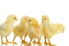 De kippen van de baby Royalty-vrije Stock Fotografie