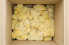 De kippen van de baby Royalty-vrije Stock Afbeeldingen