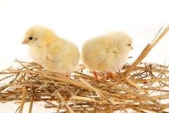 De kippen van de baby in nest Stock Afbeeldingen