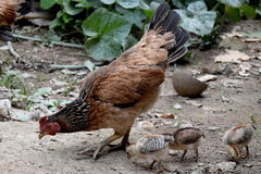 De kippen van de manier van het Leven Moeder en weinig babykuiken Stock Foto