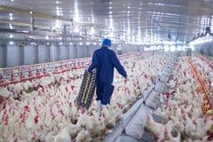 De kippen van het bedrijfs gevogeltelandbouwbedrijf landbouwbedrijf stock foto