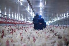 De kippen van het bedrijfs gevogeltelandbouwbedrijf landbouwbedrijf royalty-vrije stock fotografie