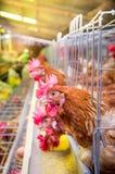 De kippen van het gevogeltelandbouwbedrijf en eieren, vogelhuis stock afbeelding