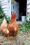 De kippen van Isobrown in werf Royalty-vrije Stock Fotografie