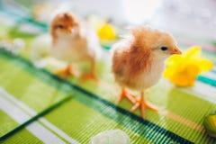 De kippen van Pasen E royalty-vrije stock afbeelding