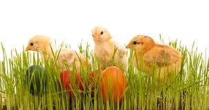 De kippen van Pasen in het gras met kleurrijke eieren Royalty-vrije Stock Afbeeldingen