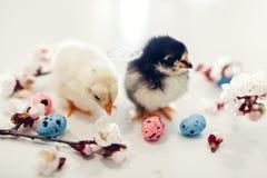 De kippen van Pasen Kleine gele kuikens die onder abrikozen bloeiende bloemen en paaseieren lopen stock foto's