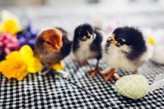 De kippen van Pasen Kleine zwarte kuikens die onder bloemen en paaseieren lopen royalty-vrije stock afbeeldingen