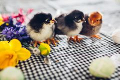 De kippen van Pasen Kleine zwarte kuikens die onder bloemen en paaseieren lopen royalty-vrije stock afbeelding