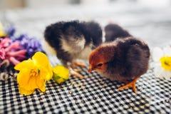 De kippen van Pasen Kleine zwarte kuikens die onder bloemen en paaseieren lopen royalty-vrije stock foto