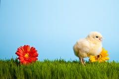 De kippen van Pasen met bloemen op groen gras Stock Afbeelding