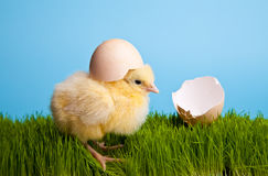De kippen van Pasen met bloemen op groen gras Stock Foto's