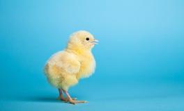 De kippen van Pasen op blauw Royalty-vrije Stock Afbeeldingen