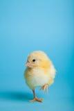 De kippen van Pasen op blauw Stock Afbeelding