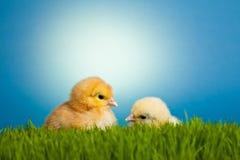 De kippen van Pasen op groen gras op blauw Royalty-vrije Stock Fotografie