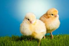 De kippen van Pasen op groen gras op blauw Royalty-vrije Stock Foto's