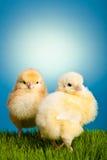 De kippen van Pasen op groen gras op blauw Stock Afbeelding