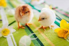 De kippen van Pasen Paar die van kleine kuikens onder bloemen en paaseieren lopen royalty-vrije stock fotografie
