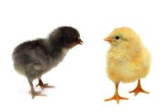 De kippen van vrienden Royalty-vrije Stock Afbeelding