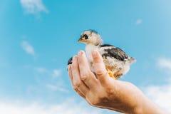 De kippen zitten in de palm van de landbouwer en onderzoeken de afstand, een symbool van vrijheid, tegen de blauwe hemel stock afbeeldingen