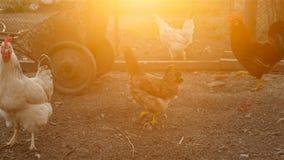 De kippen zoeken korrel in de grond stock video