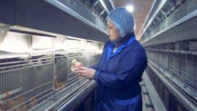 De kippenhokarbeider onderzoekt een babykip, zet het terug in de kooi en sluit de deur stock video