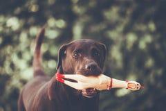 De de Kippenpeuter van de labradorvangst, Selectieve nadruk op oog  Royalty-vrije Stock Foto
