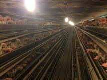 De kippenvogels kooit het gevogelteranden van het de landbouwvee Royalty-vrije Stock Afbeeldingen
