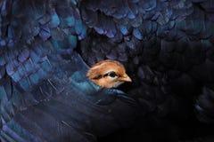 De kippenwang verbergt haar mammaveren stock afbeelding